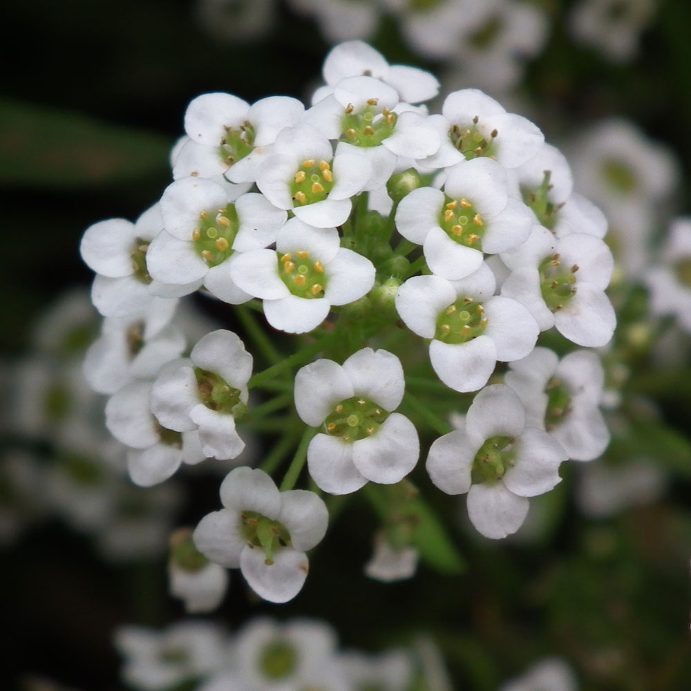 Alyssum_white_color_at_lalbagh7326.JPG