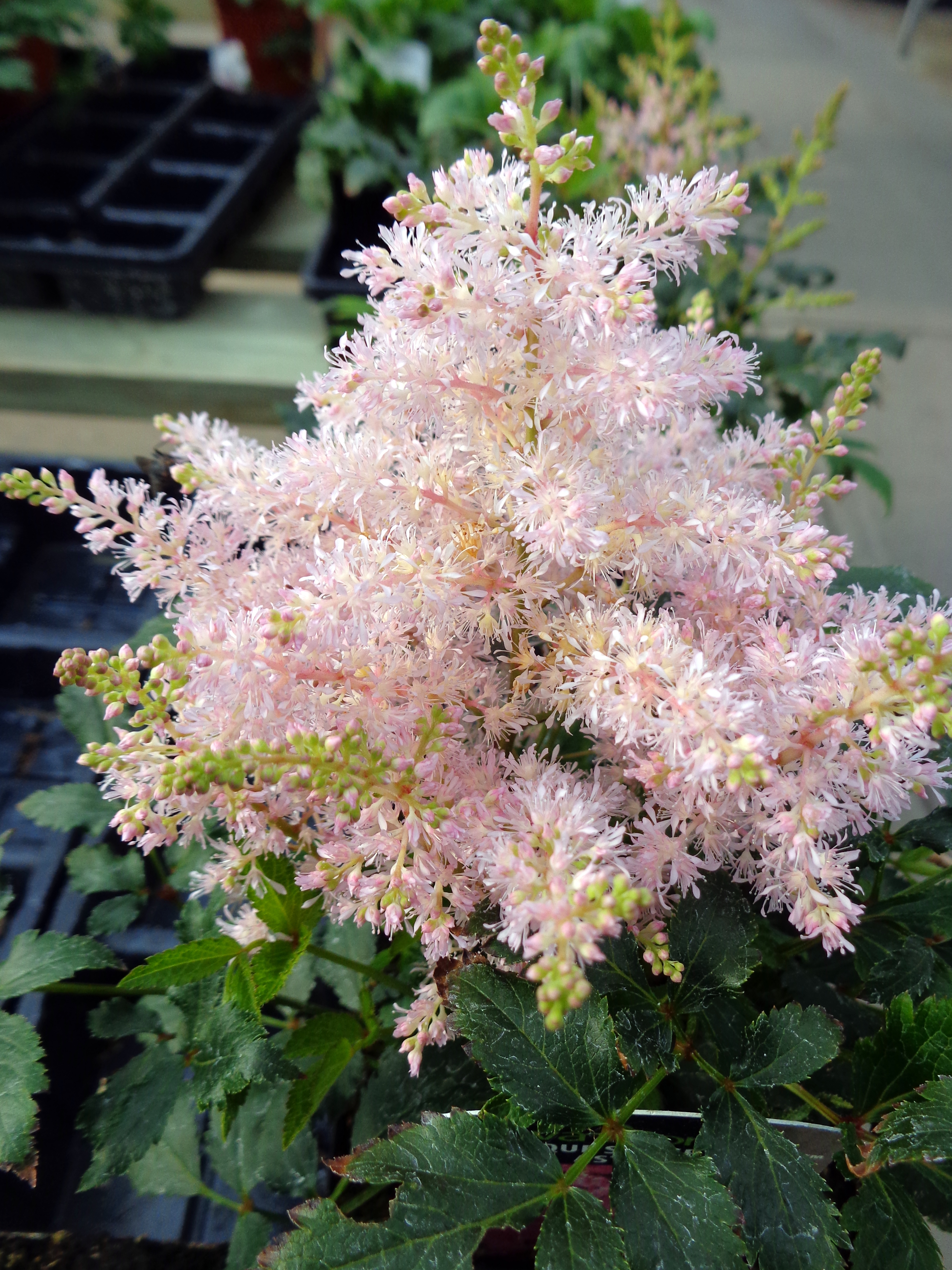 Astilbe_Younique_Silvery_Pink.jpg