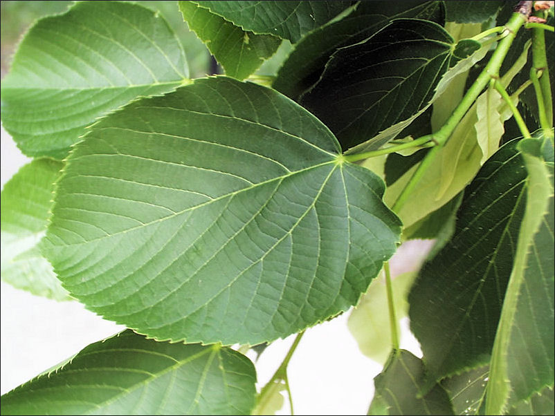 AMERICAN_BASSWOOD_leaves.jpg